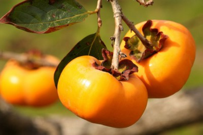 食べて美白栄養素いっぱいの柿